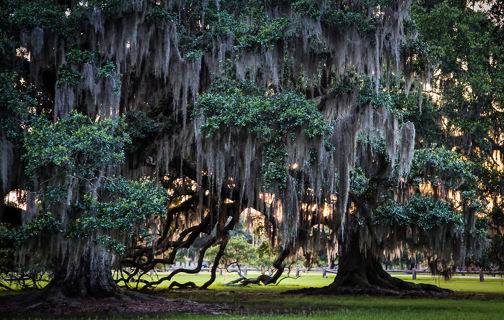 Moss on Live Oak Trees in Fontainebleau State Park Mandeville, Louisiana. .