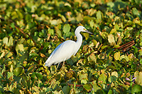 Snowy Egret (Egretta thula) searching for food among water hyacinths on Lake Chapala, Jocotopec, Jalisco, Mexico