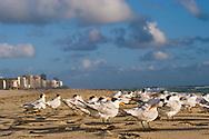Birds on the beach near the Atlantic Ocean in Miami Beach, Florida