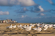 Birds on the beach near the Atlantic Ocean in Miami Beach, Florida