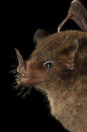 Pallas' Long-tongued Bat (Glossophaga soricina), La Selva Biological Station, Costa Rica. <br />