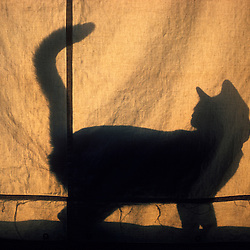 Domestic cat in silhouette behind canvas window curtain.... .