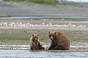 A Brown bear mother with her yearling cub along the lower lagoon at the McNeil River State Game Sanctuary on the Kenai Peninsula, Alaska. The remote site is accessed only with a special permit and is the world's largest seasonal population of brown bears in their natural environment.