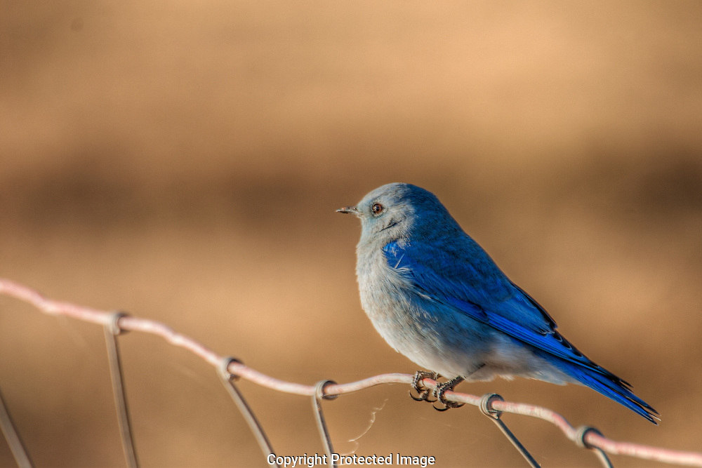 Mountain Bluebird perched on wire fence.