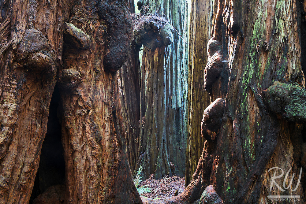 Burls on Old-Growth Coast Redwood Trees, Muir Woods National Monument, California