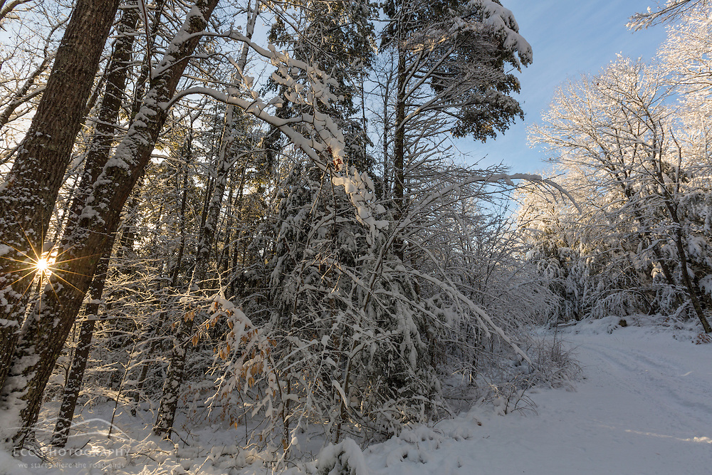 The sun shines through snow-covered trees in a forest in Barrington, New Hampshire.