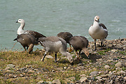 A group of Geese (Upland Goose) foraging on grass leaves as two adult birds watch for danger. Rio de las Vueltas, El Chaltén, Patagonia.