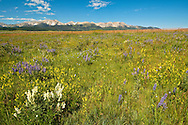 Wildflowers, Bridger Mountains north of Bozeman Montana, Sedan area