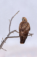 Red-tailed Hawk in the snow