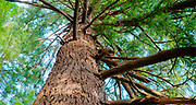 Douglas fir tree 18-feet in circumference makes this the largest in the park, Mount Tabor Park, Portland, Oregon.