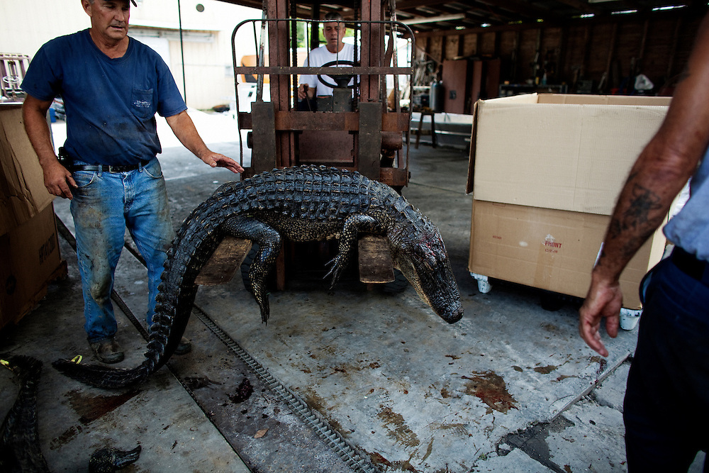A forklift is used to lift an alligator into a cardboard storage box on Saturday, September 19, 2009. Following a day of hunting the catch of the day is measured and recorded. The gators are then placed in cold storage in large cardboard boxes until the hunters have run out of tags. They are then delivered to someone who skins the animals and processes the meat, returning the skins to be sold.