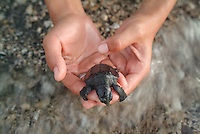 Detail view of hands releasing a turtle hatchling along the beach at water's edge in Pemutern, Bali. Conservation photography by Djuna Ivereigh.