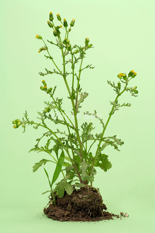 wild flower plant and soil in studio setting