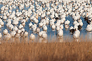 Snow geese resting at the edge of the marsh.