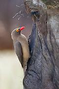 Red-Billed Oxpecker, Lake Nakuru National Park, Kenya