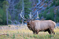 Bugling Bul Elk, Yellowstone National Park