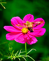 Clearwing Hummingbird Moth (Hemaris thysbe) Feeding on a Cosmos Flower. Image taken with a Fuji X-T2 camera and 100-400 mm OIS lens