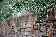Ancient Brick Wall with Hanging Olive Branches Over Side