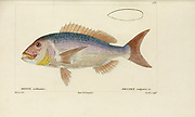 Dantex (Dante) from Histoire naturelle des poissons (Natural History of Fish) is a 22-volume treatment of ichthyology published in 1828-1849 by the French savant Georges Cuvier (1769-1832) and his student and successor Achille Valenciennes (1794-1865).