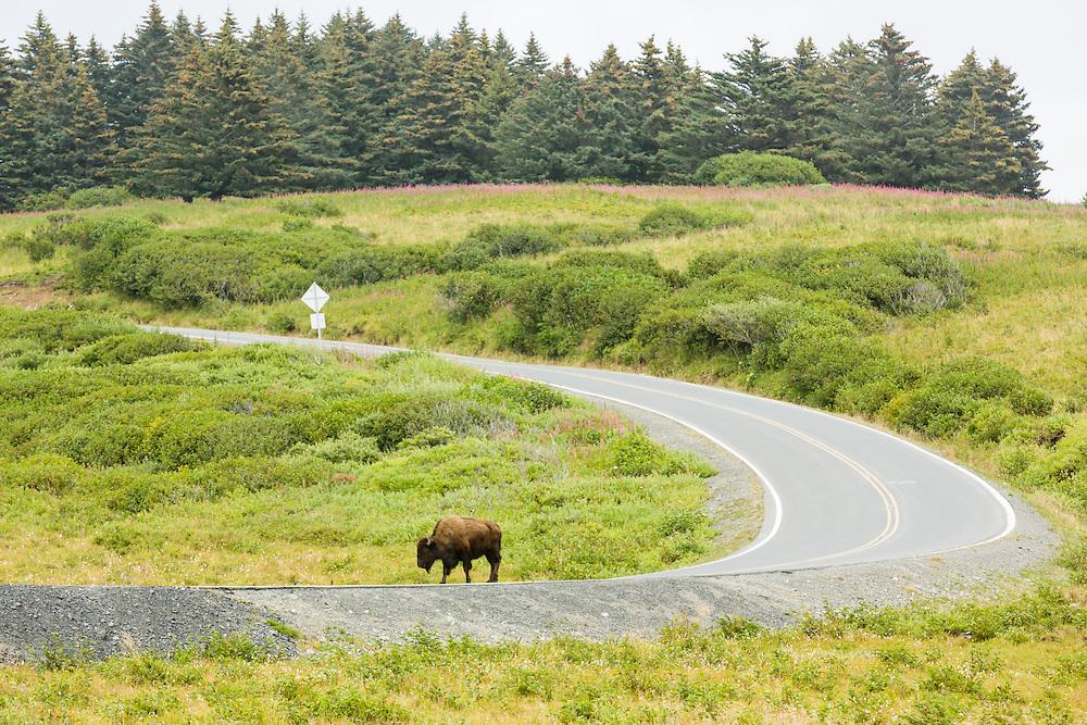 Bison (Bison bison) walking on road at Pasagshak on Kodiak Island in Southwestern Alaska. Summer. Afternoon.