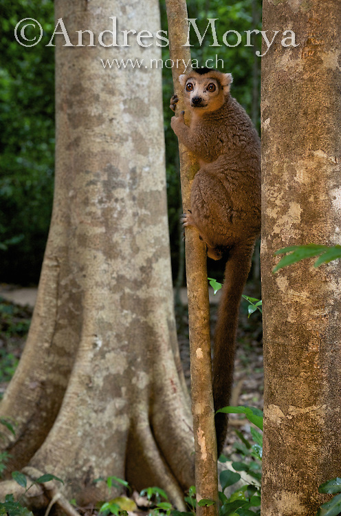 Crowned Lemur (Eulemur coronatus), Ankarana National Park, Northern Madagascar Image by Andres Morya