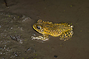 Marbled Toad <br /> Incilius marmoreus<br /> El Tuito, Jalisco, Mexico<br /> 12 June      Adult       Bufonidae        Wiegmann's toad