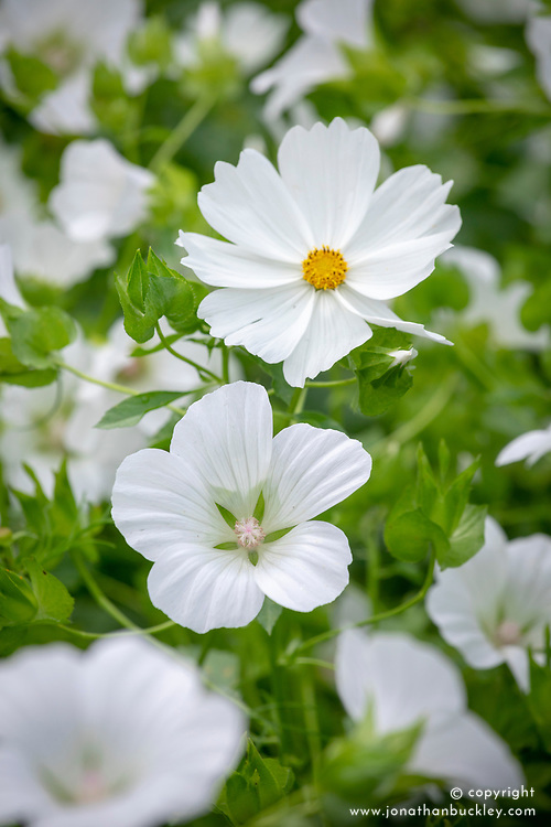 Cosmos bipinnatus 'Purity' with Malope trifida 'Alba'.
