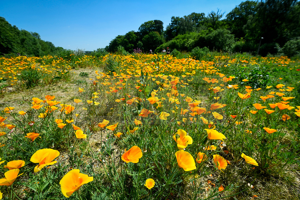 © Licensed to London News Pictures. 30/05/2020. WATFORD, UK.  California poppies (Eschscholzia californica) currently flowering on a sunny day in a field in Watford.  The UK has experienced the sunniest spring since records began in 1929 including the driest May in some areas.  Photo credit: Stephen Chung/LNP
