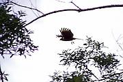 Conceicao do Mato Dentro_MG, Brasil...Fazenda perto de Conceicao do Mato Dentro, na regiao da Serra do Cipo. Na foto um gaviao...The farm next to Conceicao do Mato Dentro, the region of Serra do Cipo. In this photo, a ..Foto: LEO DRUMOND / NITRO