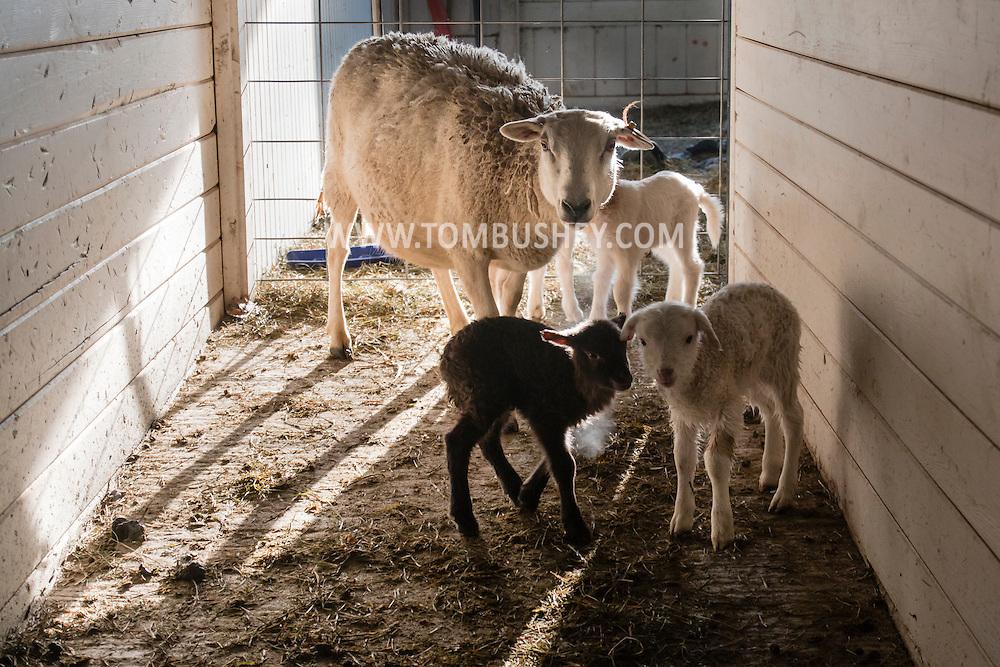 Goshen, New York - Lambs and sheep in the barn at Banbury Cross Farm on Feb. 20, 2015.