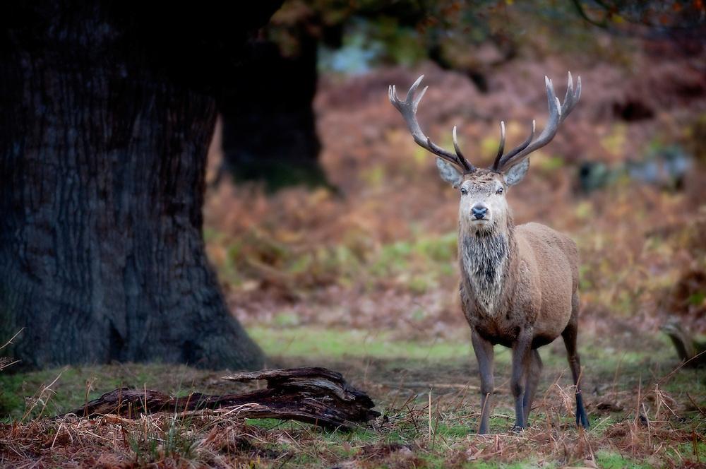 Red deer stag (Cervus elaphus), Bradgate Country Park, Leicestershire, England, UK.