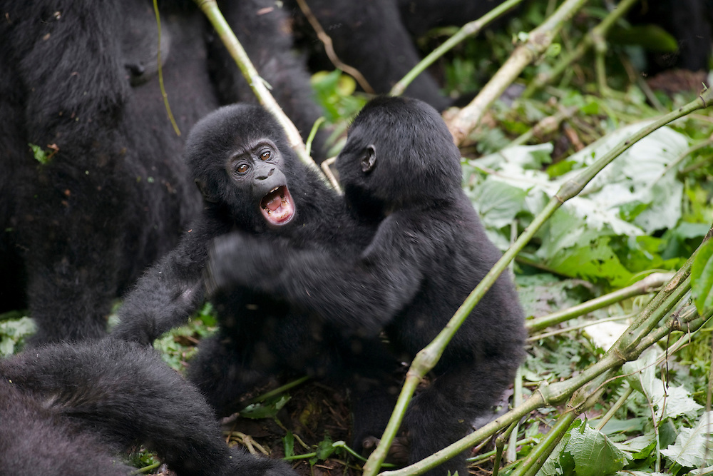 Africa, Uganda, Bwindi Impenetrable National Park, Juvenile Mountain Gorillas (Gorilla gorilla beringei) fighting in rainforest