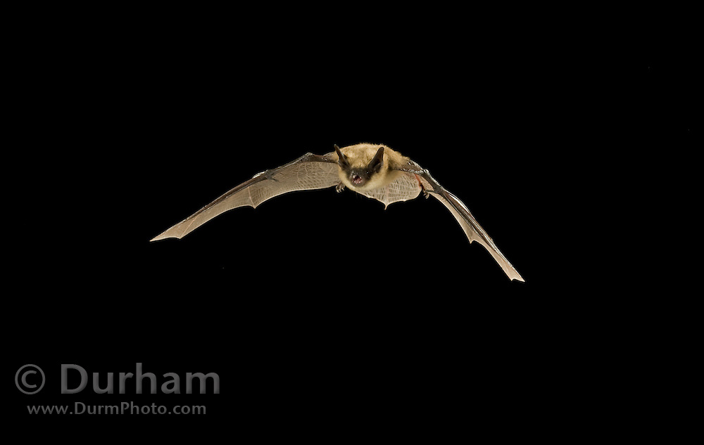 A western small-footed myotis (Myotis ciliolabrum) in flight at night, Kaibab National Forest, Arizona.