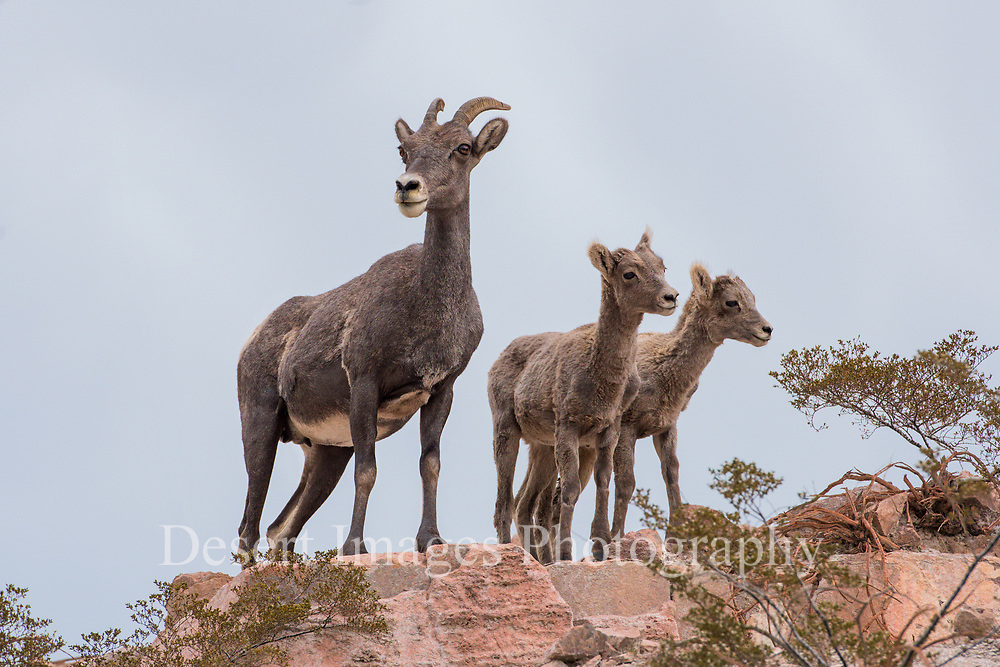 Bighorn Ewe and Lambs<br /> Eagle Creek Heard<br /> Clifton, AZ