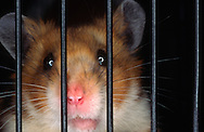 Deutschland, DEU, Cuxhaven: Trauriger Goldhamster (Mesocricetus auratus) schaut durch die Gitterstäbe seines Käfigs. | Germany, DEU, Cuxhaven: Frustrated Golden Hamster (Mesocricetus auratus) looking through the bars of its cage. |