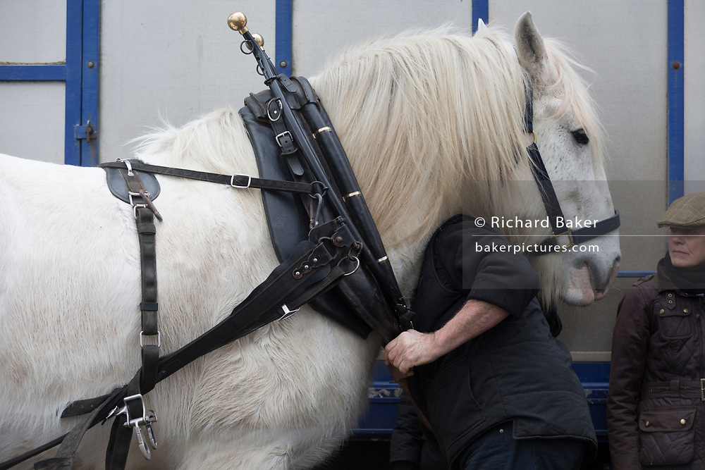 Members of Operation Centaur ready their Shire horses before they plough an on-going heritage wheat-growing area in Ruskin Park, a public green space in the borough of Southwark, on 9th February 2018, in London, England. The Friends of Ruskin Park are again growing heritage wheat and crops together with the Friends of Brixton Windmill and Brockwell Bake Association. Shire horses are descended from themedievalwarhorse but are a breed under threat. Operation Centaur, which maintains the last working herd of Shires in London is dedicated to the protection and survival of the breed. It is an organization set up to promote the relevance of the horse as a contemporary working animal in partnership with humans. This takes the form of heritage skills in conservation and agriculture, transportation, discovery, learning and therapy.