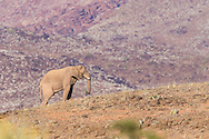 A desert-adapted African bush elephant climbs a short hill, a red mountain face rising behind, Twyfelfontein, Namibia.