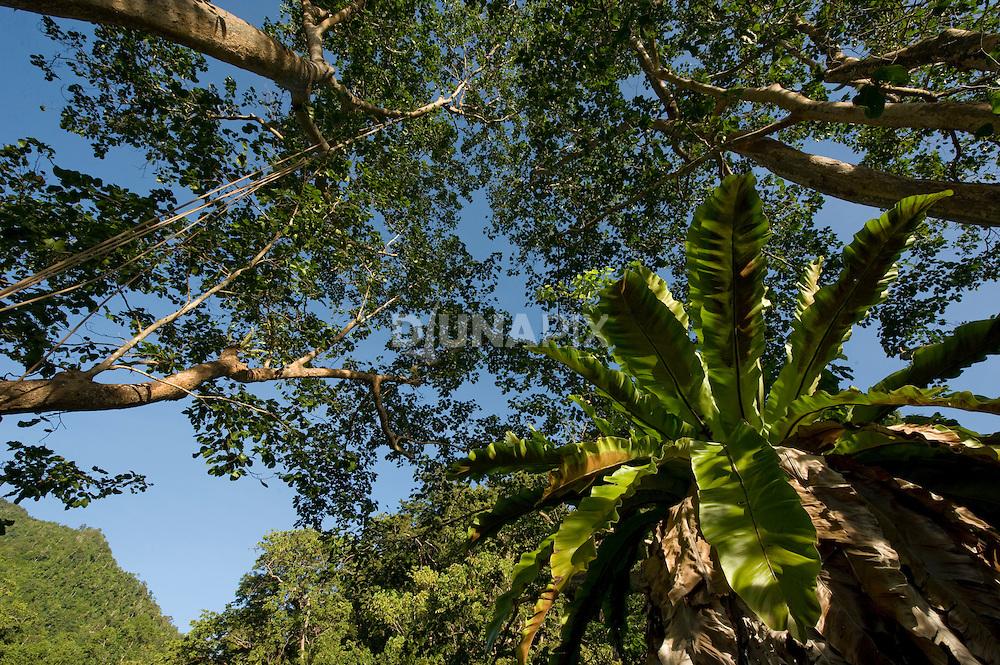 Giant bird's nest fern above the Morite canopy platform.