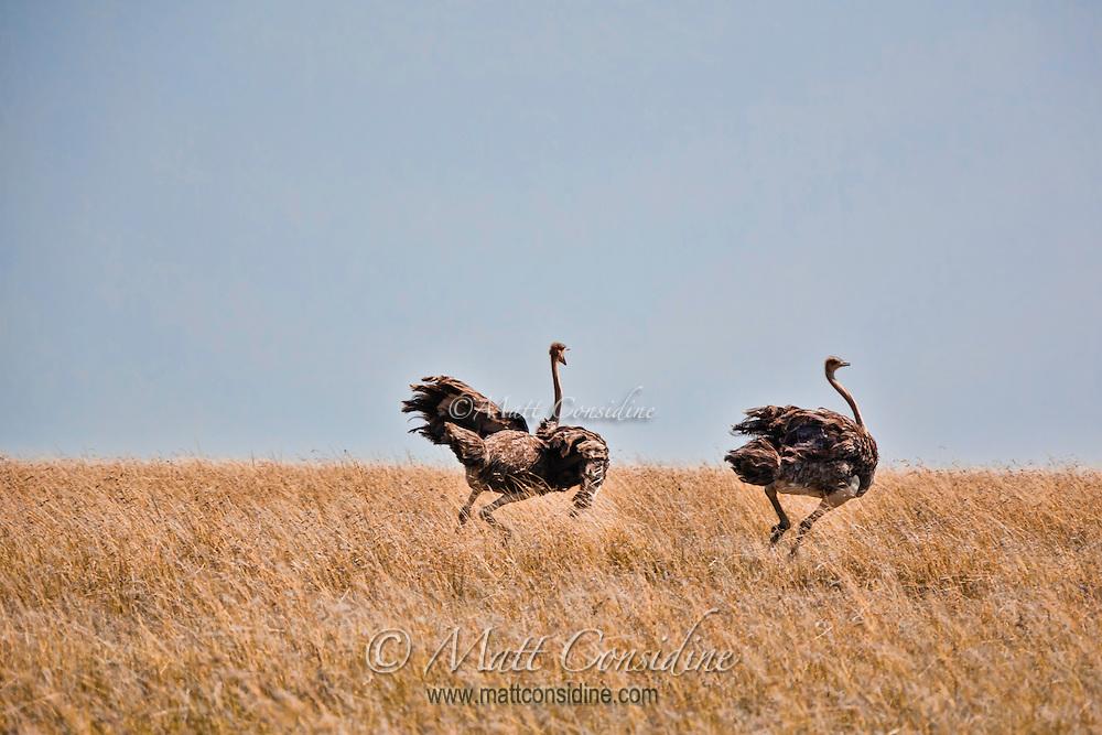 Two female ostriches running to escape across open grassland in the Masai Mara Reserve, Kenya, Africa (photo by Wildlife Photographer Matt Considine)