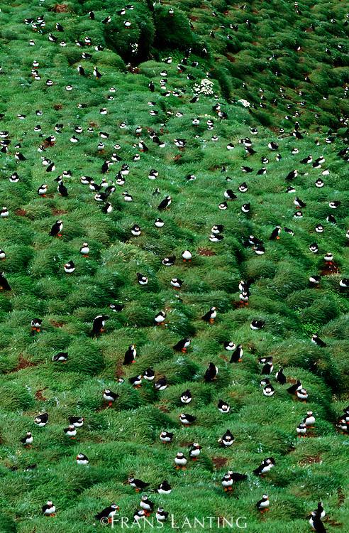 Atlantic puffin nesting colony, Fratercula arctica, Vestmannaeyjar, Iceland