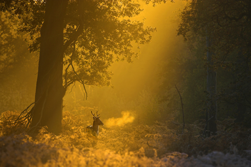 fallow deer buck at dawn. I chose to shoot this image from a distance to show the deer in the context of its woodland habitat. The early morning light has cast a golden hue over the image.