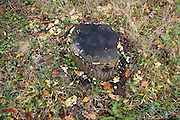 stump of a cut down tree with mushroom growth