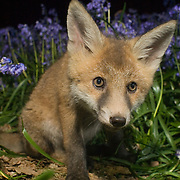 Fox cub, Oxfordshire. Oxford Mammal Group.