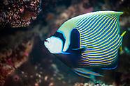 Pomacanthus imperator (Emperor angelfish)