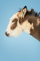 Donkey against blue background eyes closed close-up of head side view