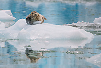 Harbor seal hauled out on ice at South Sawyer Glacier in Tracy Arm - Fords Terror Wilderness in Southeast Alaska.