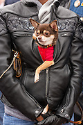 A leather clad biker carries her pet dog in her jacket on Main Street during the 74th Annual Daytona Bike Week March 7, 2015 in Daytona Beach, Florida.