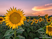 Sunflower field in Memphis.