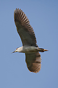 Black-crowned Night Heron, Louisiana, North America