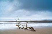 Driftwood - graphic image of dead branch washed up by the sea of the Bristol Channel onto sandy beach at Burnham-on-Sea, Somerset, UK